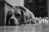 Striker agobiado (Letua) Tags: striker animal bokeh christmas christmastime dog happymemories lazos mascota navidad perro pet portrait retrato