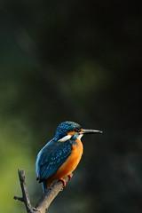 Common Kingfisher (Alcedo Atthis) (nilesh_fatnaney) Tags: commonkingfisheralcedoatthis commonkingfisher alcedoatthis common kingfisher alcedo atthis