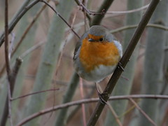 Robin (Deanne Wildsmith) Tags: robin staffordshire fisherwicklakes earthnaturelife