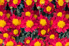 New Year (12bluros) Tags: chrysanthemums flowers floral canonef100mmf28lmacroisusm