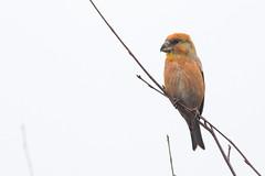 Parrot Crossbill (craig.denford) Tags: wishmoor bottom barossa camberley surrey parrot crossbill craig denford