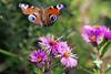 CKuchem-9758 (christine_kuchem) Tags: blüte blüten edelfalter falter garten gartenstaude herbst herbstaster herbstgarten inachis naturgarten nymphalidae staude stauden staudengarten tagfalter tagpfauenauge lila naturnah natürlich