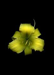 58703.01 Hemerocallis (horticultural art) Tags: horticulturalart hemerocallis daylily flower botanical
