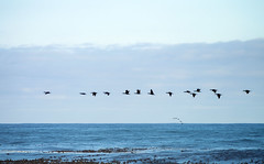 In volo verso il 2018 (Happy New Year!) (forastico) Tags: forastico d7000 happynewyear sudafrica goodhopecape uccelli