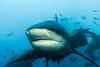 Bull Shark || Beqa Lagoon (David Marriott - Sydney) Tags: pacificharbour centraldivision fiji fj bull shark beqa adventure divers diving scuba underwater ikelite wide angle