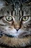 Little Hypnotist (Fernando Two Two) Tags: gato chat cat gat animal mascota kitty fauna capuchino tabby