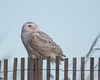 Snowy Owl (J.B. Churchill) Tags: assateaguesp birds maryland owls places snow snowyowl taxonomy worcester berlin unitedstates us