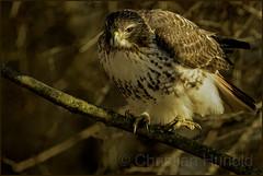 red-tailed hawk (Christian Hunold) Tags: redtailedhawk buteojamaicensis redtail hawk raptor birdofprey rotschwanzbussard johnheinznwr philadelphia christianhunold