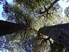 Coigües en Challupén (Mono Andes) Tags: andes chile chilecentral regióndelaaraucanía coigüe nothofagus fagaceae nothofagusdombeyi bosque floranativadechile parquenacional parquenacionalvillarrica