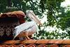 Mr. Pelican on his roof (BlueLunarRose) Tags: pelican bird garden trees roof nature wildlife animal birdpark sonyalphadslra200 sal75300 bluelunarrose
