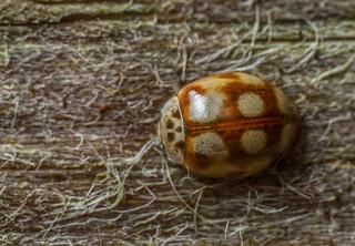 10-spot Ladybird (Adalia decempunctata)
