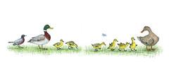 DucklingProcession (Alex Hiam) Tags: mallard robin ducks duckling ducklings drake hen illustration spring childrens book drawing butterfly