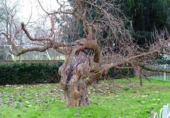 December 7th, 2017 Mulberry tree, Caversham Court Gardens (karenblakeman) Tags: caversham uk tree mulberrytree cavershamcourtgardens 2017 2017pad december reading berkshire