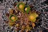 Ferocactus cylindraceus - Cactaceae (Kerry D Woods) Tags: ferocactus cylindraceus cactaceae