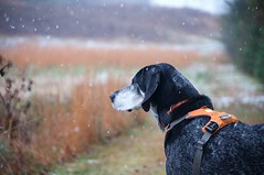 49/52 | a snowy evening (huckleberryblue) Tags: gracie bluetickcoonhound dog hound coonhound snow snowflakes 52weeksfordogs week49