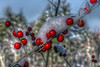 It's berry, berry cold... (macnetdaemon) Tags: nature outside hdr plant berry cold snow boket canon 7d markii branch red closeup macro