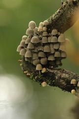 Zwerminktzwam - Coprinellus disseminatus - Fairy Inkcap Mushroom (merijnloeve) Tags: zwerminktzwam coprinellus disseminatus fairy inkcap mushroom rotterdam de tempel paddo paddenstoel paddestoel fungi fungus herfst