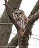 Barred Owl (Eric Gerber) Tags: barred owl