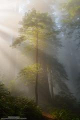 Standing in Motion (michael ryan photography) Tags: lightbeams godrays redwood tree forest delnortecoastredwoodsstatepark redwoodnationalpark crescentcity california fog mist delnorte northerncalifornia michaelryanphotography