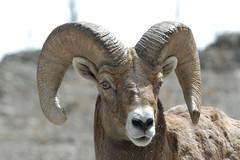 Wildlife72.tif (NRCS Montana) Tags: bighornsheep houndstongue weeds wildlife invasivespecies