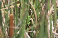 Green and gold bell frog (Photo 1 of 2) (RossCunningham183) Tags: greenandgoldbellfrog frog endangeredspecies pond reeds portkembla nsw australia bullrushes amphibian