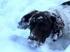 Snowy (Heaven`s Gate (John)) Tags: brock springer spaniel dog pet snow england winter white johndalkin heavensgatejohn closeup fun 10faves