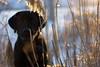 DSC04499 (mikael.kha248) Tags: dog doggy dogs dogwalking activedog walkingdog black blacklabrador blacklab blacklabr labrador labr labradorretriever lab blacklabradorretriever puppy labpuppy winterdog eveningwalk sunspotdog blackdog myblack jim dogas pet pets animal animals wintersolstice sunset sunspot sudown sun sunlight depthoffield landscape nature snow winter december 2017 december17 december2017 winter17 winter2017 alone bokeh selectivefocus ice