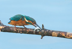 Kingfisher (cogs2011) Tags: canon sigma nature wildlife kingfisher hunting fishing