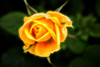 Miniature Yellow Rose-Glowing 6-0 F LR 2-5-16 r 17 J176 (sunspotimages) Tags: roses rose yellow yellowflowers yellowflower yellowrose yellowroses digitalmanipulation artwork artistic fractalius
