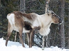 reindeer (grynetvalp) Tags: elements ngc coth5