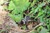 Chinese cobra (Naja atra) (Nature.Catcher) Tags: china guangxi xingping cobra snake chinese reptile venom naja chinesecobra najaatra roadside hurt roadkill accident hit hiss bite hood taiwancobra venomous elapidae taxonomy:binomial=najaatra fatal