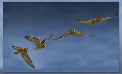 Short-eared Owl / Hibou des marais / Asio flammeus (FRITSCHI PHOTOGRAPHY) Tags: hiboudesmarais shortearedowl sainthubert asioflammeus