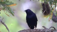 Satin Bowerbird- Ptilonorhynchus Violaceus (tonydawe1) Tags: fieldguidebirdsoftheworld ptilonorhynchusviolaceus satinbowerbird purple cream sky beautiful australia 6000mm forest woods mate male