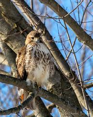 Red-tailed Hawk (CharlesHastings) Tags: birds redtailedhawk birdsofprey hawk wildlife nature buteojamaicensis