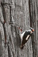 Picoides villosus, HAIRY WOODPECKER (openspacer) Tags: bird hairywoodpecker picoides tree yosemitenationalpark