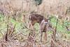 11192017-215-1 (bjf41) Tags: deer white tail whitetail nikon nikond600 d600