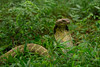 Ophiophagus hannah (King cobra) (ValdemarJoergensen) Tags: bali indonesia canon 760d macro 60mm herp herps herping herpetofauna wild wildlife nature natgeo herpotology ophiophagus hannah king cobra snake