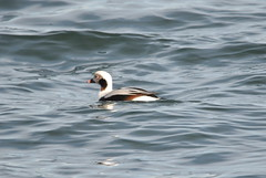 Long-tailed Duck (Neal D) Tags: bc surrey crescentbeach bird duck longtailedduck clangulahyemalis