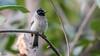 Bulbul (faram.k) Tags: bird bulbul handheld slowshutterspeed ahmedabad gujarat india in