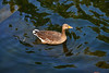 SMILING DUCK SWIMMING (GA High Quality Photography) Tags: creative creativework amazing attractive awesome stunning beautiful best bokeh blue color colors colour colours colorful colourful cloud clouds cool cute dramatic europe exposure eye eyes fabulous fantastic field fine fun fotografia photography photographer gorgeous image interest lighting lovely manual natural new nice outdoor pop purple green splendid view wonderful