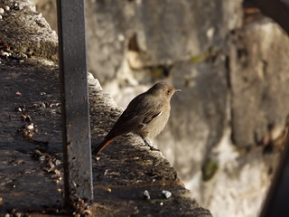 Black Redstart, La Bastille, Grenoble, France, 1 January 2018