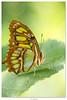 Siproeta steneles (Shoot Enraw) Tags: leressec ariège exotiques papillons siproetasteneles serre costarica