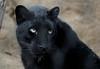 Mystique (greekgal.esm) Tags: amurleopard fareasternleopard leopard bigcat cat feline animal mammal carnivore mystique sandiegozoo sandiegozooglobal sdzoo sdzglobal sandiego sony rx10m3 rx10iii melanistic melanism