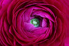 Flower Power (AnyMotion) Tags: persianbuttercup ranunkel ranunculusasiaticus floral flowers blumen blossom blüte petals blütenblätter plant pflanze 2017 anymotion nature natur frankfurt vase 6d canoneos6d colours colors farben pink rosa red rot macro makro makroaufnahmen excellence fa ngc npc