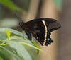 Giant Swallowtail (SarahW66) Tags: giantswallowtail butterfly glasshouse insect insects canon80d sigma105mm sigma macro macrophotography macrobutterfly sigmamacro bokeh