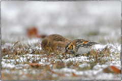 Lapland longspur (Explored, Jan. 6 2018, #68) (RKop) Tags: d500 nikkor600f4evr 14xtciii tripod armlederpark cincinnati ohio raphaelkopanphotography handheld
