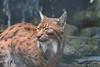 The Lynx Effect......... (law_keven) Tags: carpathianlynx lynx dudleyzoo zoo england birmingham cats bigcats photography wildlifephotography wildlife