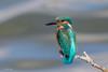 Kingfisher (Linda Martin Photography) Tags: alcedoatthis hampshire blashfordlakes birds wildlife kingfisher uk nature coth naturethroughthelens ngc coth5 npc