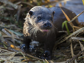 Little Ouse Otter