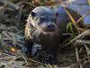 Little Ouse Otter (Chris Bainbridge1) Tags: lutra european otter eurasian suffolk little ouse river